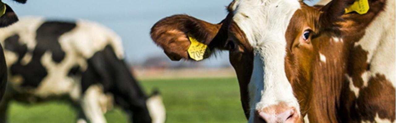 Leenknecht Agri, koeien in wei